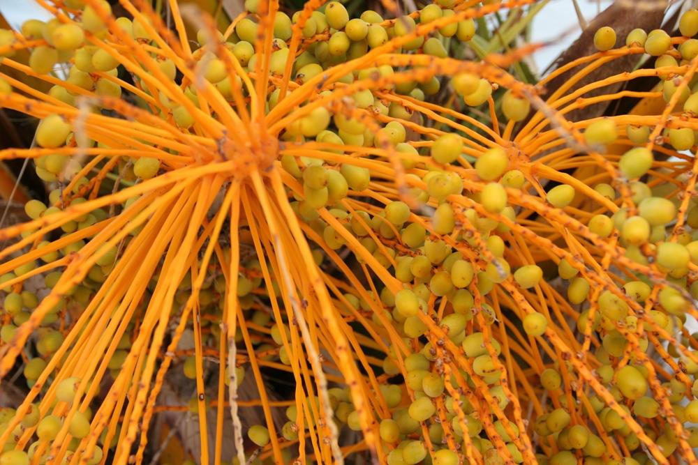 Dubrovnik Pflanze