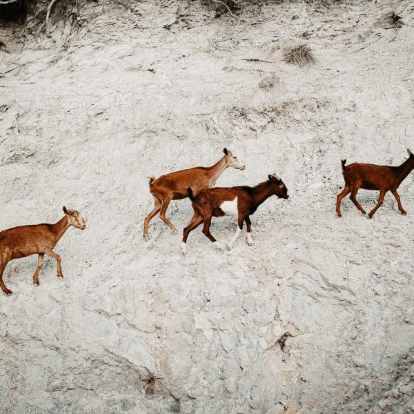 Ziegen in Mallorca, Sarah Russ